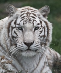 Foto op Canvas Tijger The face of a white tiger lying on the grass