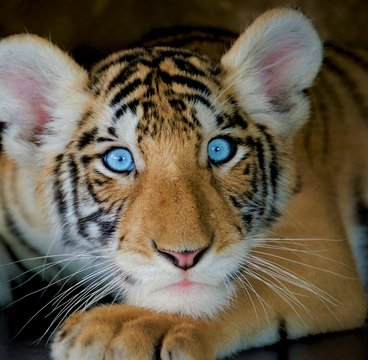 Little tiger cub with light blue eyes