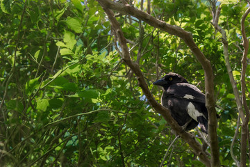 Australian Currawong sits in a tree