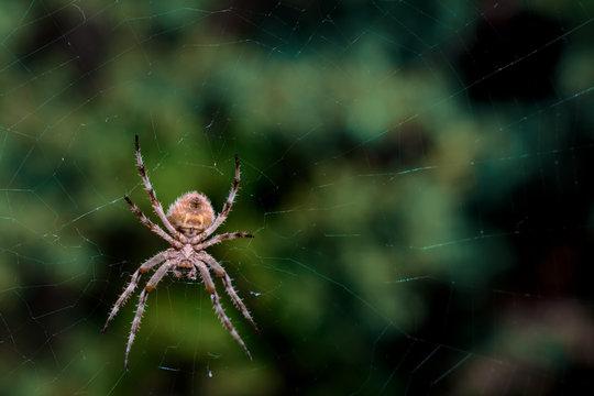 A garden spider in its web