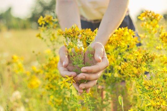 Yellow blooming St. John's wort hypericum in girls hand