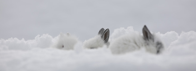 white rabbit ears in the snow
