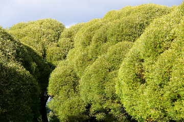 dense green crowns of trees