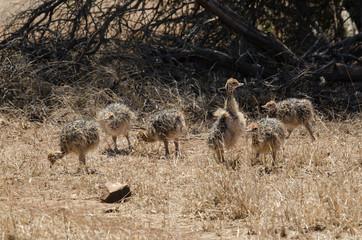 Poster Autruche Autruche d'Afrique, jeunes, Struthio camelus, Common Ostrich, Parc national Kalahari, Afrique du Sud