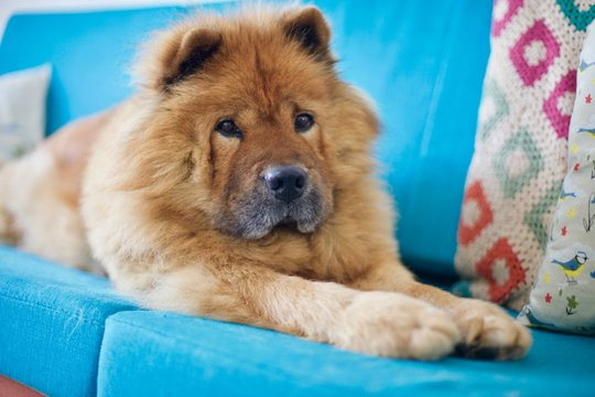 Adorable sweet red Chow chow dog on blue couch