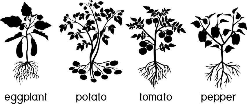 Silhouettes of different vegetable nightshade plants (pepper, tomato, potato and eggplant) with crop. General view of plant with root system isolated on white background