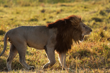 Lion king at Masai Mara, Kenya Wall mural