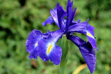 Foto op Plexiglas Iris Blue iris