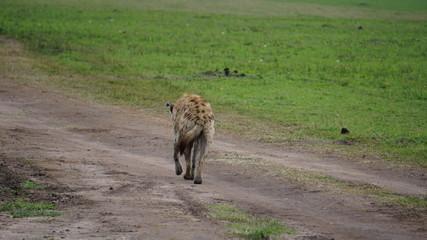 Poster Hyène hyena in serengeti national park tanzania africa