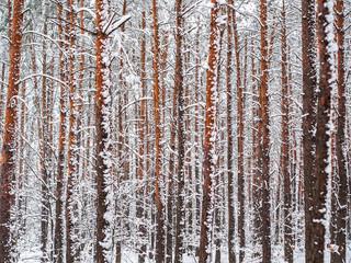 Snowy forest after snowfall, Kampinoski National Park, Poland