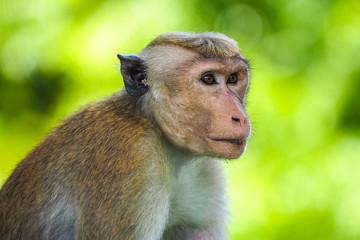 The toque macaque (Macaca sinica), Sri Lanka Papier Peint