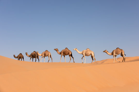A group of dromedary camels crossing a dune in the Empty Quarters desert. Abu Dhabi, United Arab Emirates.