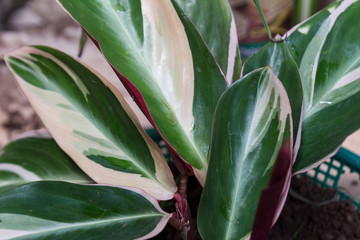 Calathea sanguinea multicolor or tricolor, close up