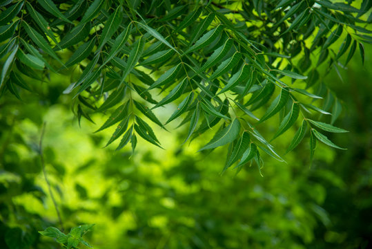 Azadirachta indica - A branch of neem tree leaves. Natural Medicine.