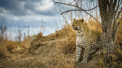 Fototapeten Leopard leopard in kruger national park, mpumalanga, south africa 162