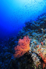 Fototapete - Beautiful soft corals on Daedalus reef