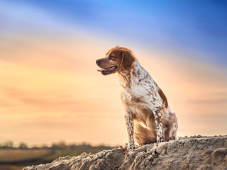Portrait of a brittany spaniel