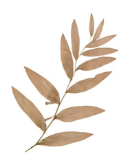 Dry pressed wild plant isolated on white background