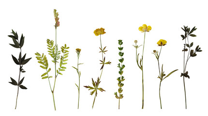Dry pressed wild flowers and plants isolated on white background. Botanical collection Fotomurales