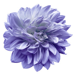 Türaufkleber Dahlie violet flower dahlia on white isolated background with clipping path. Closeup. For design. Nature.