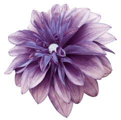 Poster Rose flower isolated purple dahlia on a white background with clipping path. For design. Closeup. Nature.