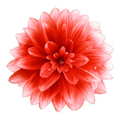 Türaufkleber Rot kubanischen red Dahlia flower on a white background. Isolated with clipping path. Closeup. with no shadows. Nature.