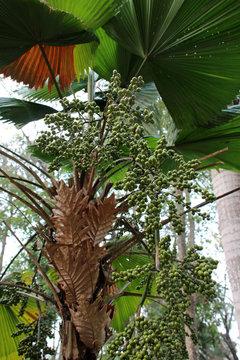 pepper tree - plateau des bolovens - laos
