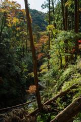 大阪箕面・倒木のある秋の箕面川の風景
