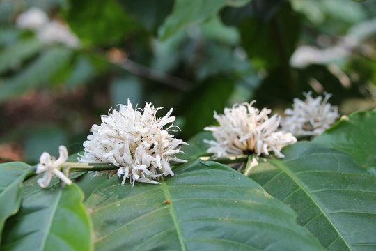 coffee tree - plateau des bolovens - laos