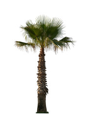 one large palm tree on white background