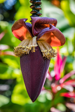 Close up of a deep purple banana flower hangs in front of bright green and purple foliage