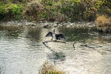 Kormoran (Phalacrocorax carbo) sitzt auf einem Ast über dem Wasser und trocknet sein Gefieder
