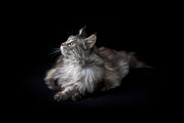 Photo sur Plexiglas Chat Studio portrait of maine coon cat laying down and looking up at light shining on its face, on black cloth background.