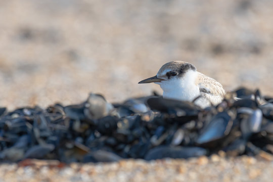 A hatchling Least Tern perched in a mussel bed.