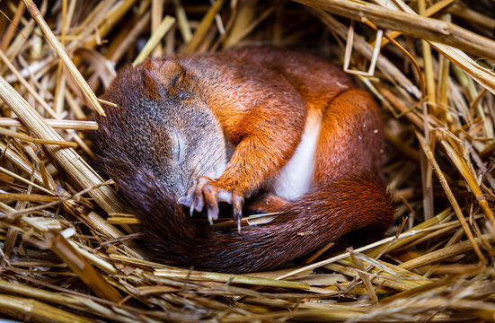 Baby squrell slepping in a nest made of straw