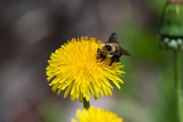 Bumblebee with pollen on flower