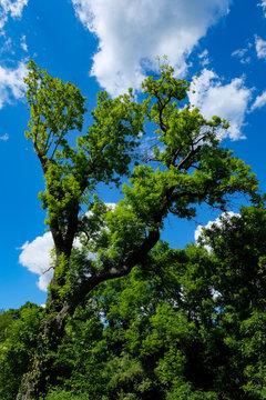 Beautiful oak tree, Abbey Saarn, Germany