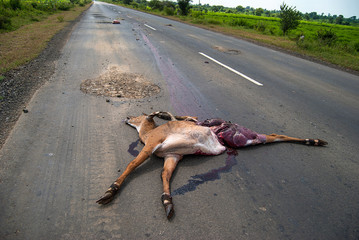 Dead animal on the road hit by a vehicle, drive carefully, accident