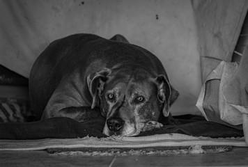 Bonito cão deitado dogue alemão great dane a preto e branco