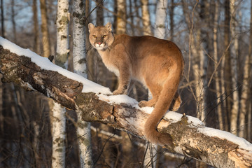 Foto auf Leinwand Puma Adult Female Cougar (Puma concolor) Tail Curled Around Branch Winter