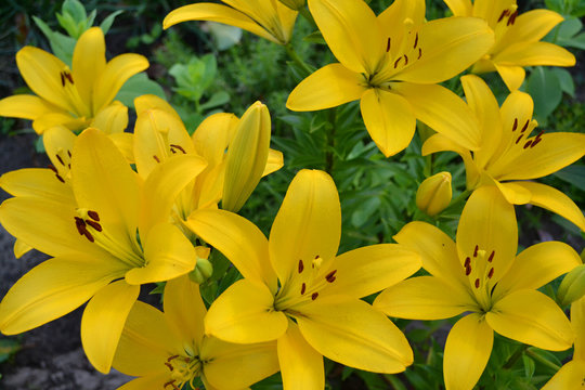 Asiatic hybrid lily texture. Clear yellow Gironde Lily or lemon yellow Lilium Butter Pixie, gorgeous blossom with six showy petals and six dark stamen anthers.