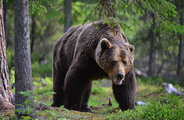 Big Adult Male of Brown bear in the summer forest. Scientific name: Ursus arctos. Natural habitat.