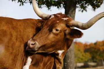 Wall Mural - Texas longhorn cow grooming close up during fall season on farm.