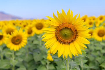 Fotobehang Meloen Beautiful sunflower field on summer