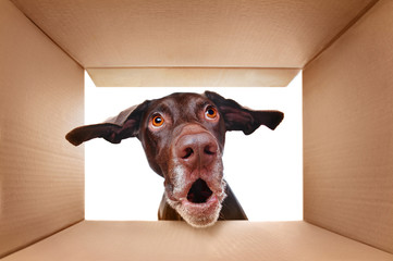Pointer dog looking into the box with surprise