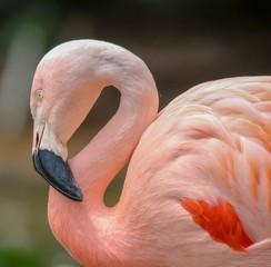 In de dag Flamingo closeup of pink flamingo portrait