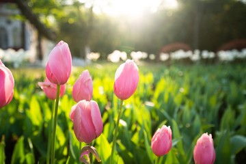In de dag Tulp Pink tulip flowers in spring