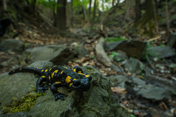 Photo sur Toile Pays d Asie Fire salamander in the natural environment, close up, isolated, silhouette, wide macro, Salamandra salamandra