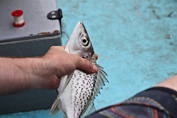 A hand holding a freshly caught spotted grunter fish (Pomadasys commersonni). River fishing in South African concept image.