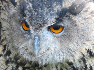 Fotobehang Uil Beautiful picture of birds of prey of great size and penetrating stare